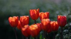 花便り - 輝くアニーシルダー -
