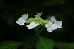 花便り - 白紫陽花の輝き -