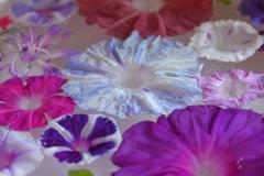 花便り - 水盤朝顔の涼 -