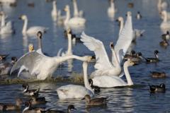 白鳥の郷 - 小競り合い -