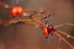 花便り - 薔薇の実り -