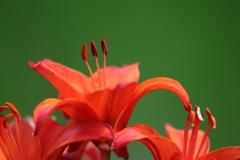 花便り - 艶やかなスカシユリ -