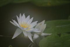 花便り - 結露の睡蓮 -