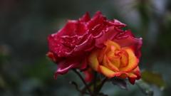 花便り - 雨の変化花 -
