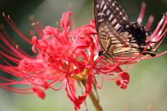 生き物写真館 - 鳳蝶と彼岸花 -