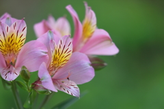 花便り - 里山のアルストロメリア -