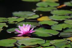 花便り - 水面の華 -