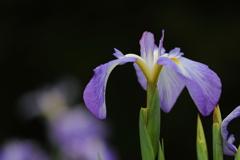 花便り - 野川の辺り -