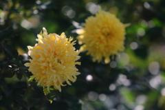 花便り - 薔薇園の花火 -