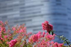 花便り - 庭園の赤百日紅 -