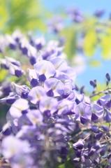 花便り - 藤花を見上げる -