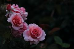 花便り - 雨の薔薇園にて -