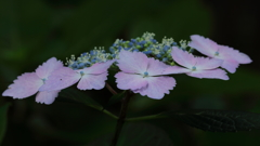 花便り - 可憐な装飾花 -