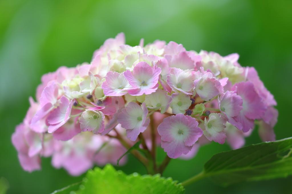 花便り - 華やぎの紫陽花 -