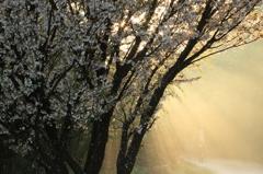 桜 - 朝霧の光芒 -