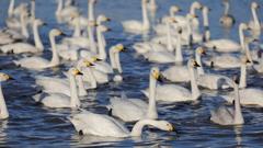 白鳥の郷 - 餌場へ向かう -