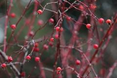 花便り - 赤い実と枝の薔薇 -