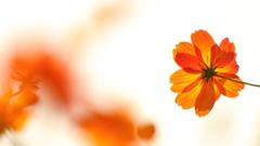 花便り - 透過した橙色 -