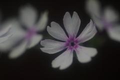 花便り - 濃淡の紅紫 -