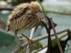 ヨシゴイ 幼鳥