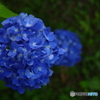 蒼の紫陽花