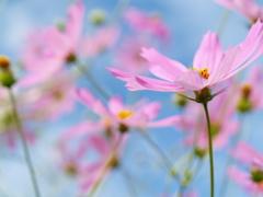 秋桜風に舞う