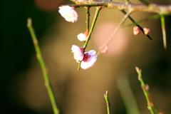 ピンクの梅が咲いた