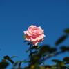 青空に咲く薔薇