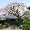 犬山の大桜
