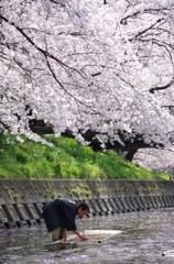 桜の日 【鯉のぼりの寒ざらし】