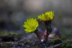 福寿草の秘密
