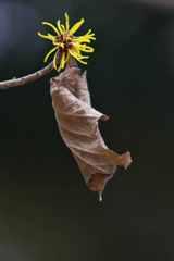 枯れ葉のマント