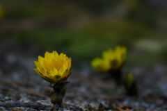 フクジュソウ咲く