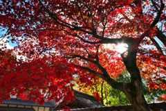 明るい紅葉