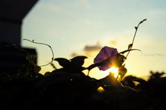 紫彩に朝日が透ける