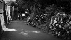 紫陽花の路