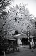 梅壽庵の春