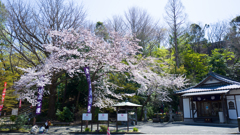梅に替わって桜の季節