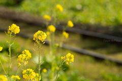菜の花線路