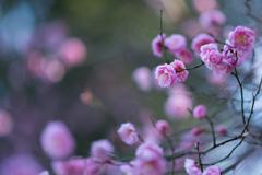 春待ち 紅梅