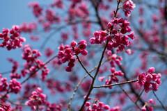 寒緋桜の彩