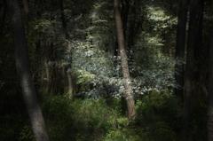 黒松の森1