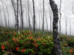 霧とレンゲツツジ