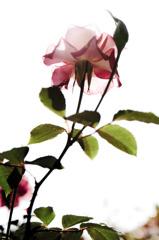 modean rose