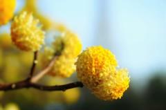 春咲く手毬