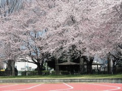 桜を目指して