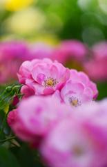 薔薇の花園