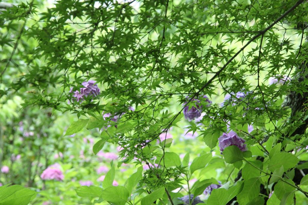青紅葉と紫陽花