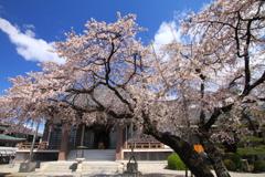 香積院しだれ桜