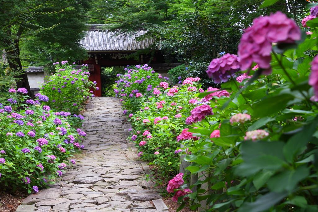 本光寺山門と紫陽花